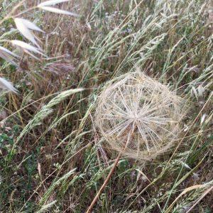 Beautiful grass seeds 1