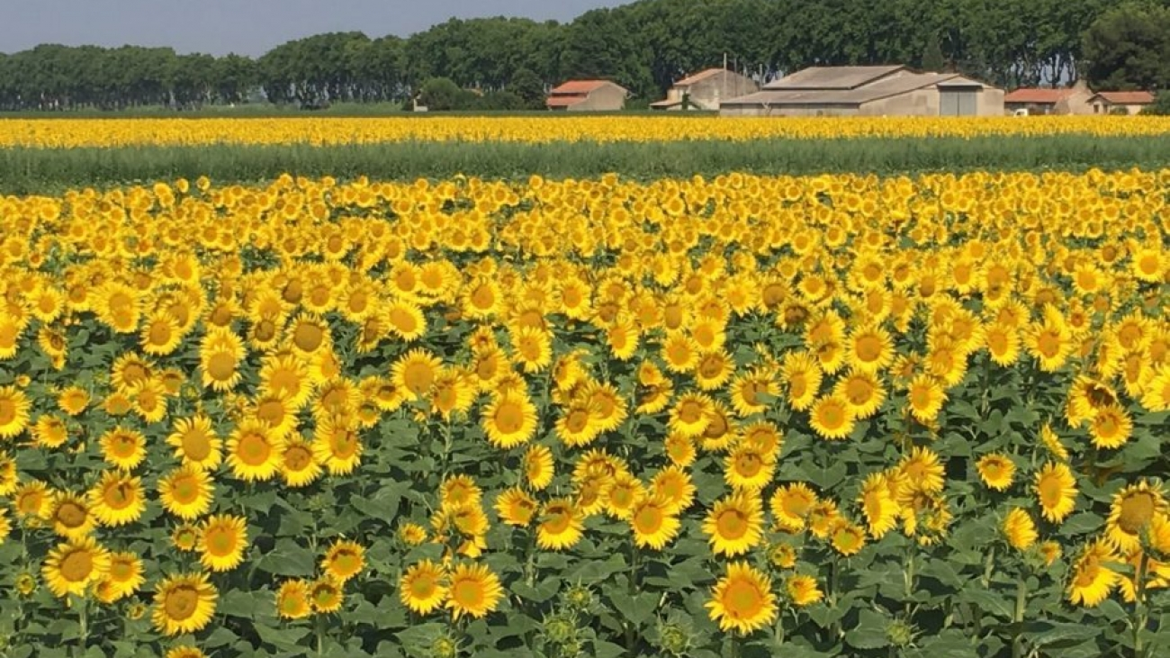 Field of sunflowers - Provence