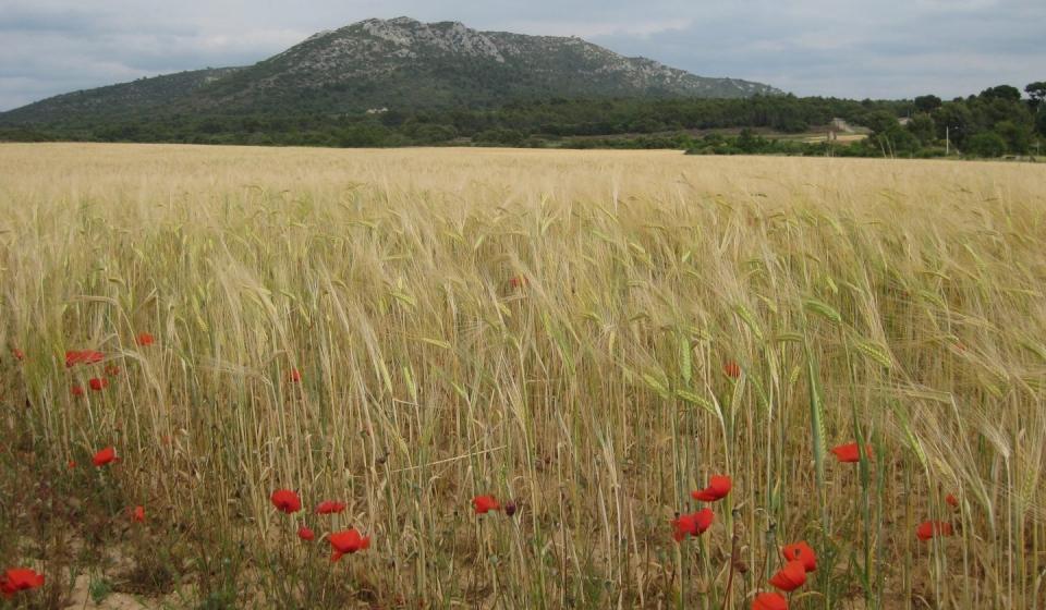 Wheat field Jouques