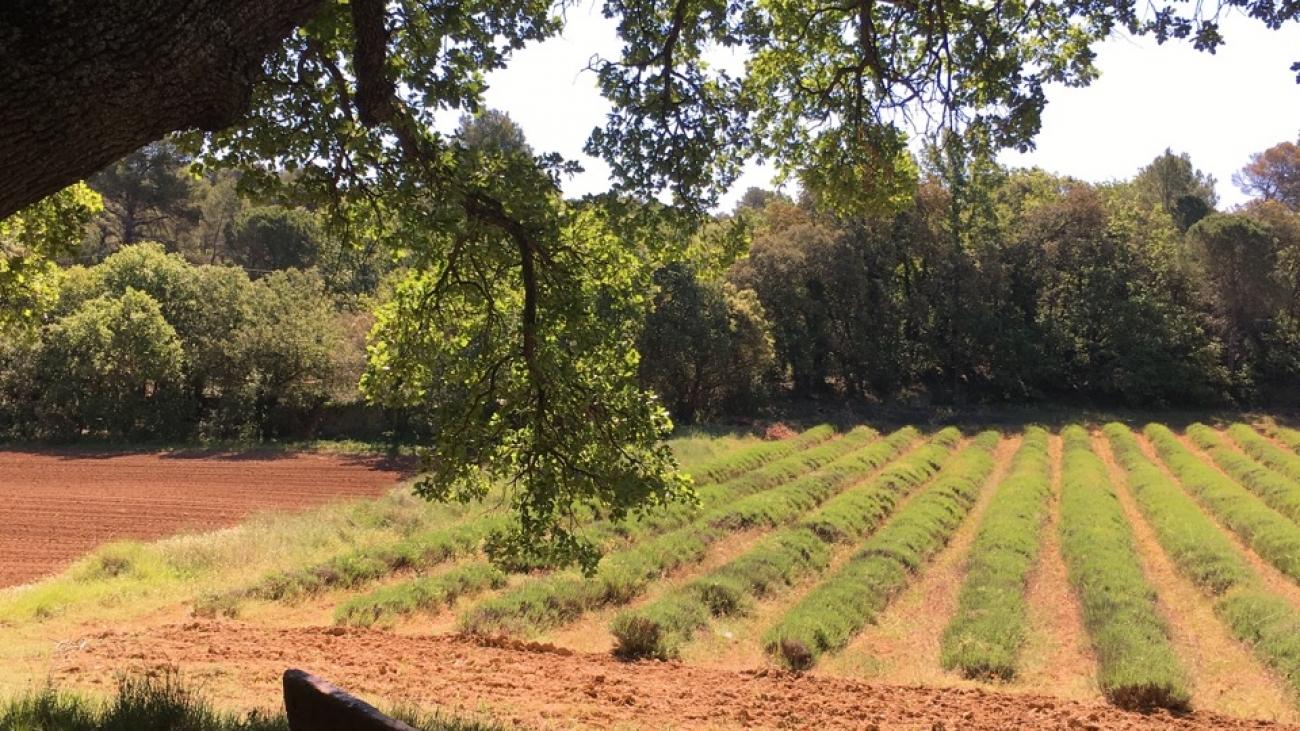 Lavandin field in Jouques